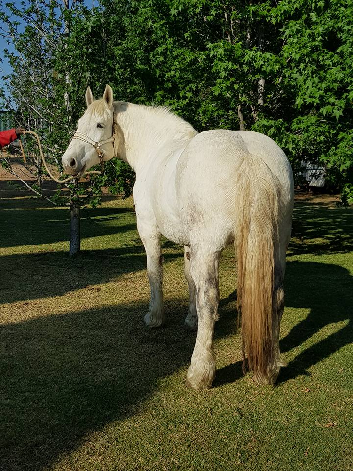 Summerwind Clarice - Mare For Sale. Born 4/11/2011 Sire: Elsnburg Mystro Dam: Elsenburg Minkie
