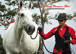 Summerwind Sharifa - National Champion Mare 'Horse Of The Year 2017' Finished in the top 8 Supremes. National Champion Mare 'Horse Of The Year 2014'. Sired by the much acclaimed, Supreme Champion Breed Horse Of The Year 2011, Sympa de Bellevue out of the dam Elsenburg Myrtle