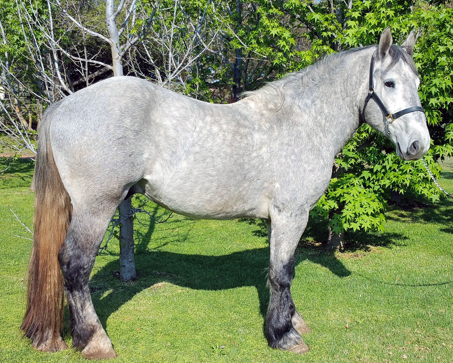 Summerwind Serengeti - Registered 3 year old gelding for sale
